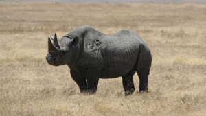 Western Black Rhino Officially Extinct