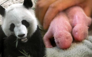 Giant Panda At Zoo Atlanta Gives Birth To Twins